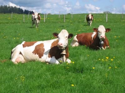 80 % des races locales « menacées d'abandon pour l'agriculture »
