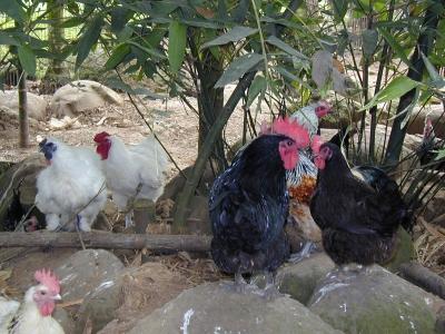 Publication Poultry Science Thélie & all